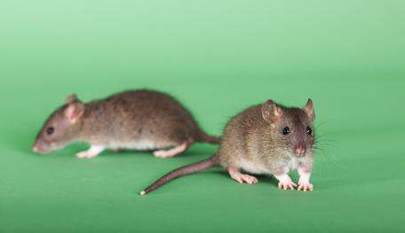 ネズミの画像 p1_16